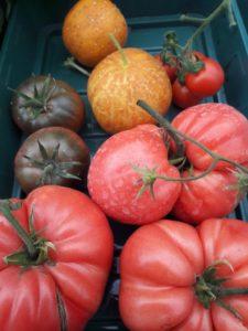zombie tomatoes