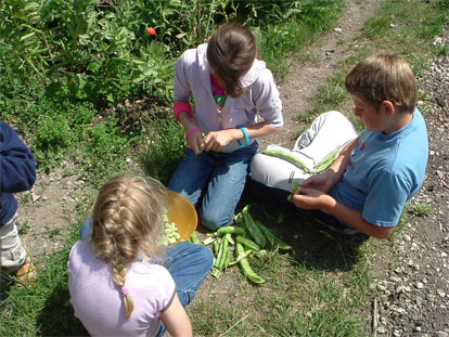 shelling broad beans in the garden