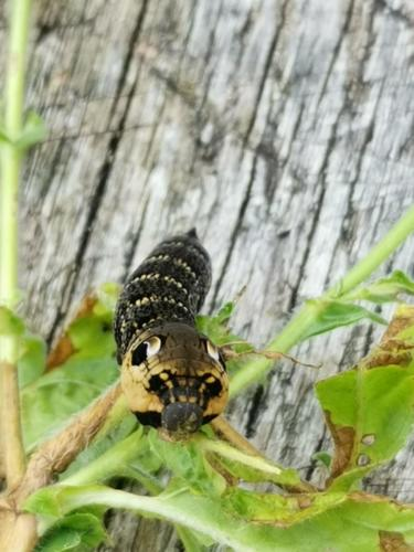 elephant moth caterpillar